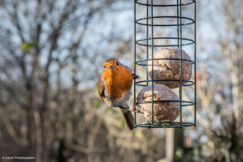 Robin, United Kingdom