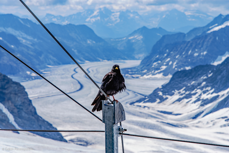 Alpine chough, Jungfraujoch, Switzerland